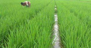Petani Tubaba Siap Wujudkan Swasembada Beras