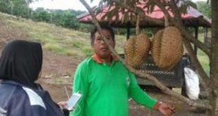 Ada Agrowisata Buah Di Desa Sengkuang Kecamatan Mulak Ulu