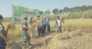 Koramil Batangan Besama Dinas Pertanian Dan Petani Panen Padi Jenis M400 Dilahan Demplot