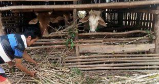 Supardi: Memanfaatkan Batang Singkong Jadi Pakan Ternak